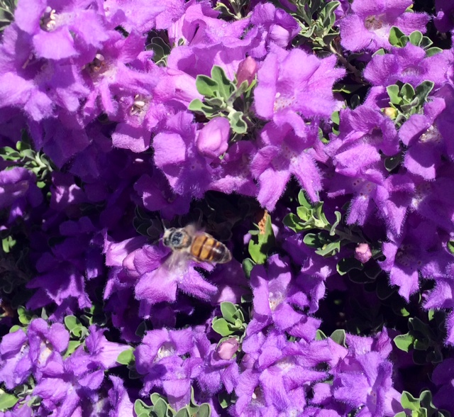 Bee in flight on lovely purple Arizona flowering shrub