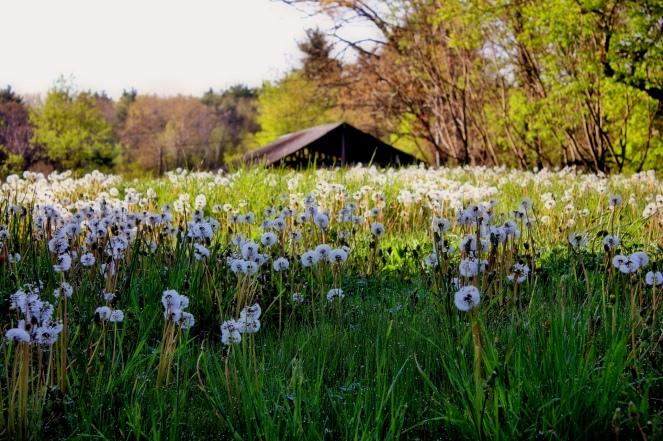 Dandilions in Meadow